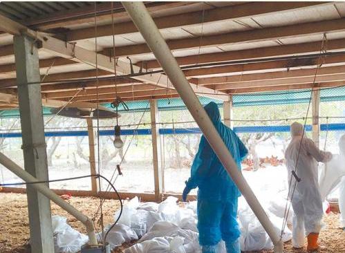 台湾彰化爆发禽流感疫情扑杀近7000只土鸡(图)