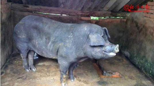 四川若尔盖县排查出非洲猪瘟疫情:发病111头,死亡78头