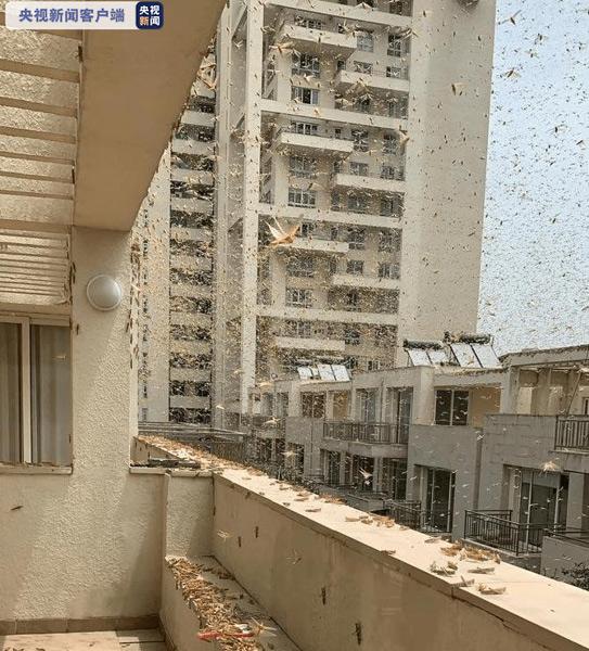 印度首都多地出现大量蝗虫群政府戒备